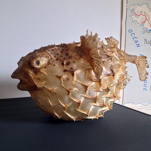 poisson diodon naturalise
