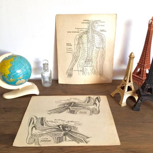 Illustrations anatomiques