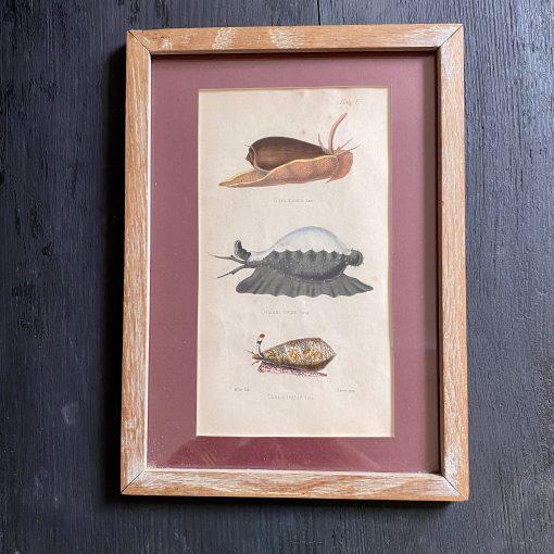 Gravures mollusques marins